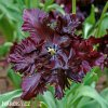 vinovy tulipan black parrot 6
