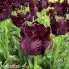 vinovy tulipan black parrot 8
