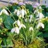 snezenka galanthus nivalis 6