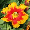 cervenozluty tulipan bright parrot 2