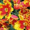 cervenozluty tulipan bright parrot 4