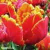 cervenozluty tulipan bright parrot 5
