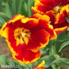 cervenozluty tulipan bright parrot 6