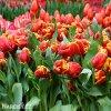 cervenozluty tulipan bright parrot 7