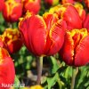 cervenozluty tulipan bright parrot 1