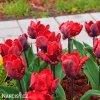 Tulipan Erna lindgreen 4
