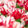 Tulipan Estella rijnveld 3