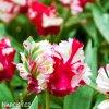 Tulipan Estella rijnveld 5