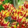 Tulipan Flaming parrot 3
