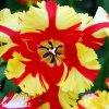 Tulipan Flaming parrot 4