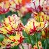 Tulipan Flaming parrot 6