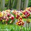Tulipan Flaming parrot 7