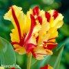 Tulipan Flaming parrot 1