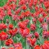 Tulipan Rococo 3