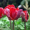Tulipan Rococo 4