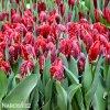 Tulipan Rococo 6
