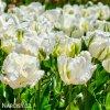 Tulipan White rebel 5