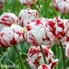 bilocerveny plnokvety tulipan carnaval de nice 2