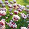 bilocerveny plnokvety tulipan carnaval de nice 3