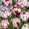bilocerveny plnokvety tulipan carnaval de nice 4