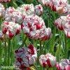 bilocerveny plnokvety tulipan carnaval de nice 5