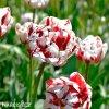 bilocerveny plnokvety tulipan carnaval de nice 6