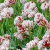 bilocerveny plnokvety tulipan carnaval de nice 7