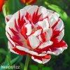 Tulipany Carnaval de nice 1