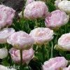 bily plnokvety tulipan danceline 4