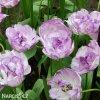 Tulipany Double shirley 3