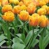 oranzovy plnokvety tulipan granny award 2