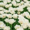 Tulipany Mount tacoma 2