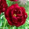 cerveny plnokvety tulipan uncle tom 6