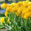 Tulipany Yellow pomponette 4