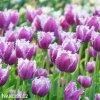 fialovy trepenity tulipan cummins 2
