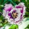fialovy trepenity tulipan cummins 4