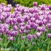 fialovy trepenity tulipan cummins 5