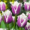 fialovy trepenity tulipan cummins 6