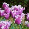 fialovy trepenity tulipan cummins 9