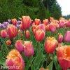 oranzovy trepenity tulipan lambada 5