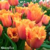 oranzovy trepenity tulipan lambada 6