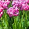 ruzovy trepenity tulipan louvre 2