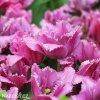 ruzovy trepenity tulipan louvre 3