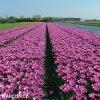 ruzovy trepenity tulipan louvre 5
