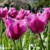 ruzovy trepenity tulipan louvre 6