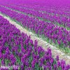 fialovy hyacint woodstock 2
