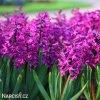 Hyacint Woodstock 5