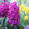 fialovy hyacint woodstock 6
