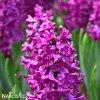 fialovy hyacint woodstock 1