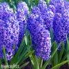 modry hyacint blue jacket 1